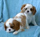 king charles puppies for xmas commpannion